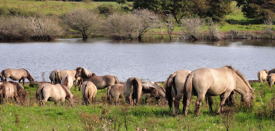 Wildpferde im Naturschutzgebiet Geltinger Birk
